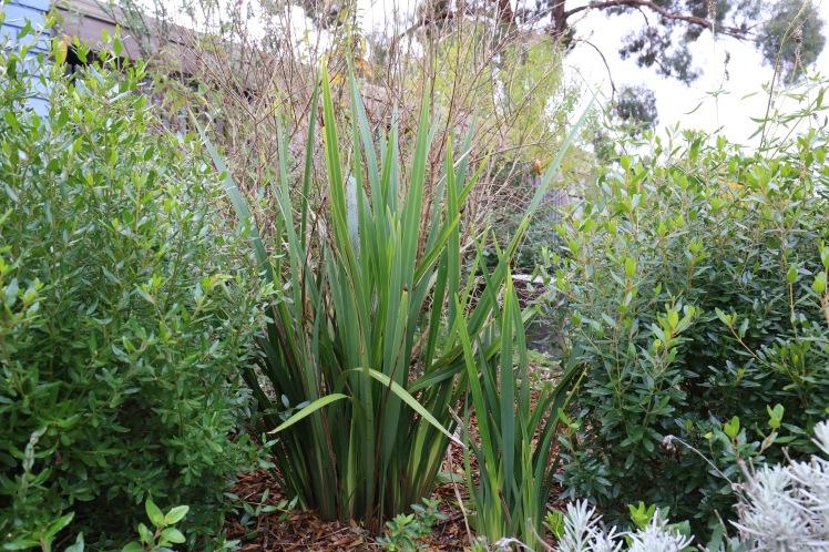 Dianella-longifolia2